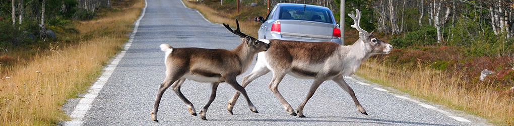 Car accident lawyers in Oakland explain why deer-car collisions increase in the autumn