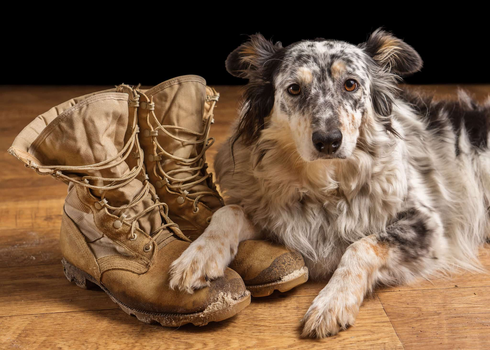 Border collie Australian shepherd mix dog lying down on tan veteran service military combat boots looking sad